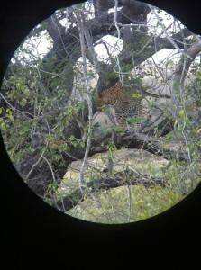 Leopard spotting in Kruger National Park